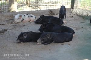 animal farm pigs paradizoo