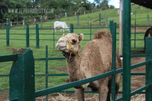 farm camel paradizoo