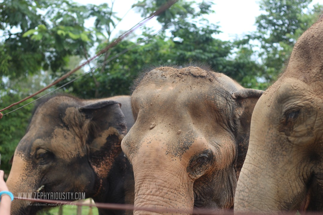 elephants at wildlife friends foundation thailand