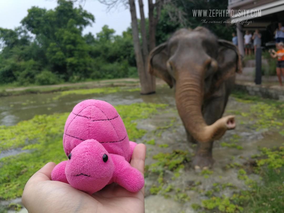 trevor the turtle at wildlife friends foundation thailand