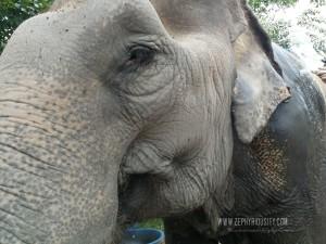 wildlife friends foundation thailand elephant on care